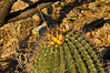 Yellow fruiting fishhook barrel cactus