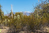 Sonoran desert plants, Saguaro NP, East