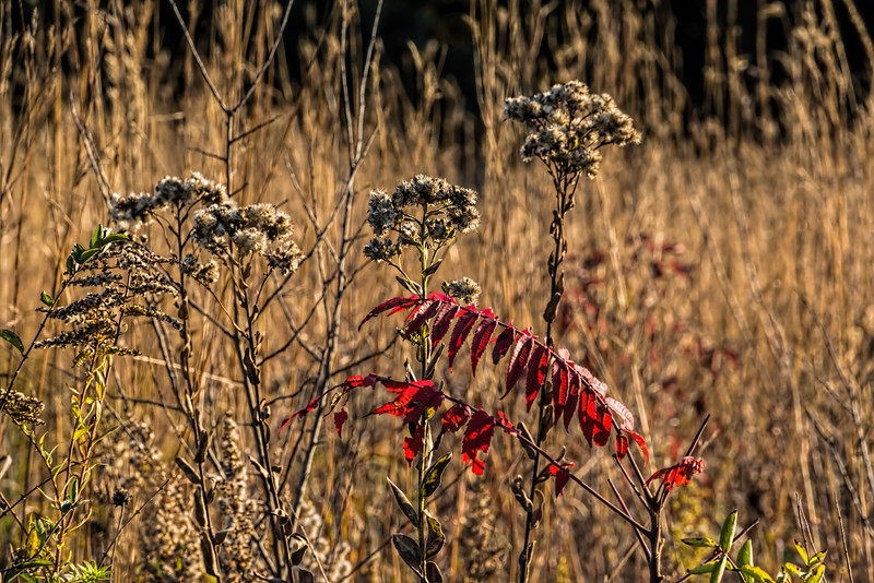 sumac, dried goldenrod, and prairie grasses