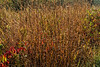 D283-2017<br /> Grasses, sparkling from the dew<br /> <br /> Dow Prairie area of Nichols Arboretum<br /> Ann Arbor, Michigan<br /> Taken October 10, 2017