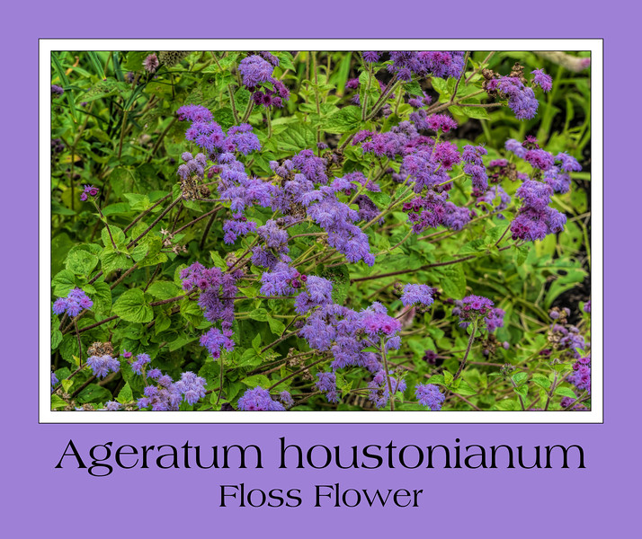 Ageratum houstonianum - Floss Flower
