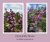 Hyacinth bean (See Lablab purpurea)