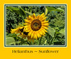 Helianthus annuus, common domestic sunflower