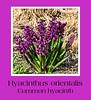 Hyacinthus orientalis; common or Dutch hyacinth