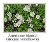 Anemone blanda, Grecian windflower