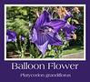 Platycodon grandiflorus, Balloon Flower