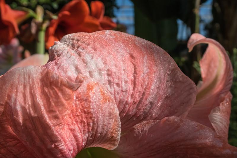 Petalicious - detail of amaryllis petals (sc 2018-3-1)