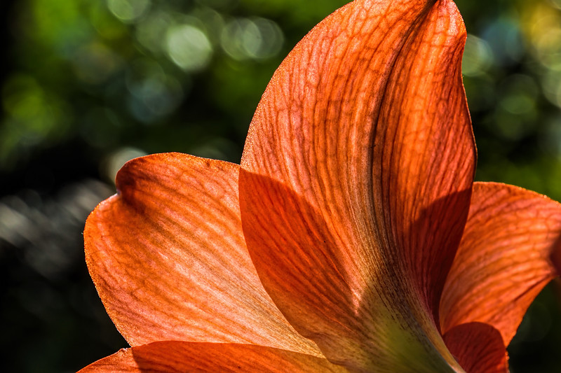 Amaryllis with back lighting