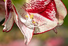 Amaryllis detail, cropped version