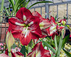 Amaryllis, a staple of spring bloom displays
