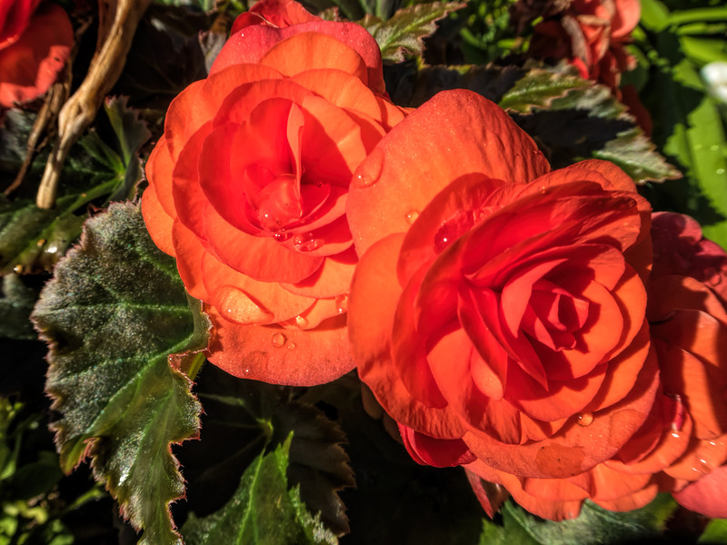 Begonias with water drops