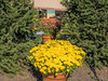 Some of the very large potted chrysanthemums at the Center