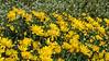 'Harmony' chrysanthemum