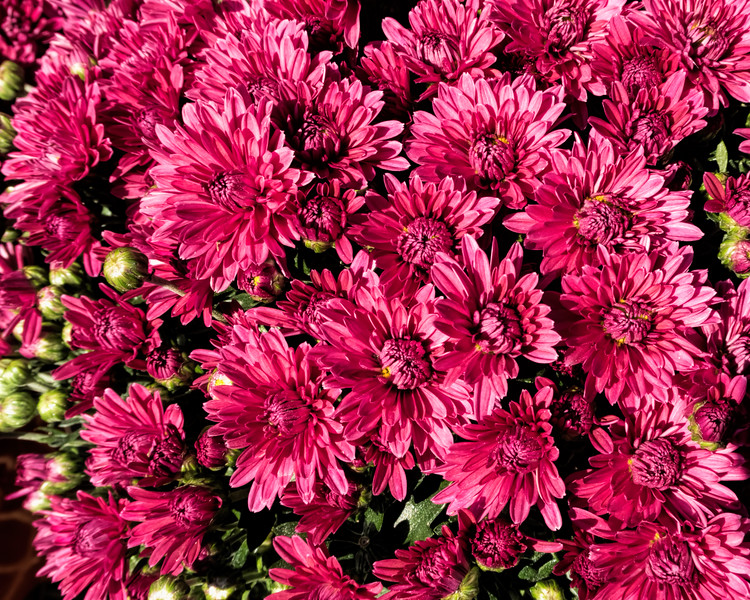 D267-2-17<br /> Chrysanthemums for sale<br /> <br /> Nature's Garden Center<br /> 6400 E Michigan Ave, Saline, MI<br /> Taken September 24, 2017
