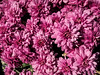 D267-2-17<br /> Chrysanthemums for sale<br /> <br /> Nature's Garden Center<br /> 6400 E Michigan Ave, Saline, MI<br /> Taken September 24, 2017