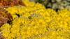 Hoar Frost on Chrysanthemums