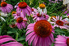 Echinacea and one tiny bee