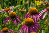 D199-2014  Purple coneflowers<br /> <br /> Matthaei Botanical Gardens, Ann Arbor, Michigan<br /> July 18, 2014