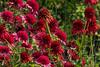 Double form echinaceas