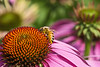 Honeybees Think Purple Coneflowers are the Bee's Knees
