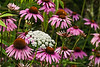 Purple coneflower and Queen Anne's Lace