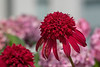 Double form echinacea