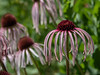 Pale purple coneflower, Echinacea pallida