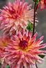 Dahlia Just Peachy, semi-cactus pink blend cultivar (sc 2018-9-15)