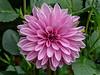 Dahlia Lavender Perfection, heirloom dinnerplate cultivar
