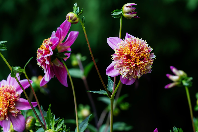 Dad's Favorite - a dahlia with an unusual form