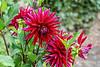 Dahlia Juanita, red cactus form cultivar