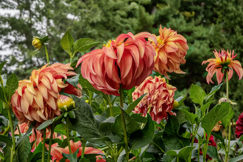 Dahlia Bloomquist Pumpkin