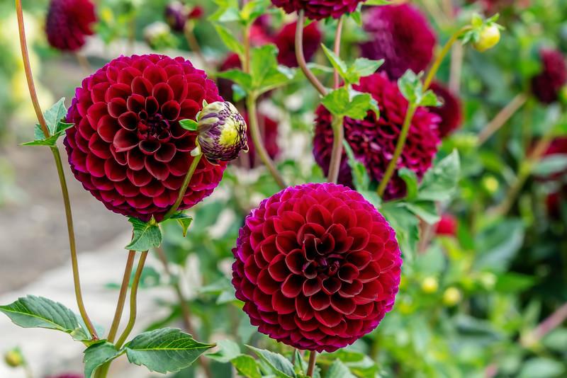 Dahlia Jessie G, red ball form cultivar