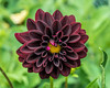 Deep mahogany dahlia with a hint of pink