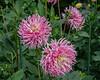 Unidentified pink dahlia