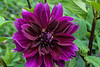 Royal purple color in a dahlia