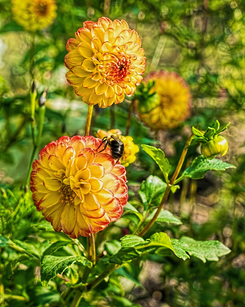 Two-tone dahlias, late in the season