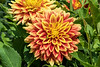 D199-2017<br /> > Dahlias<br /> <br /> Community Gardens area<br /> County Farm Park, Ann Arbor<br /> Taken July 18, 2017