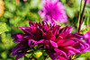 D268-2016  Dahlias<br /> <br /> County Farm Park, Ann Arbor<br /> Taken September 25, 2016
