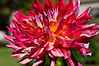 Dahlia in mixed colors
