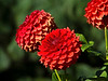 Bright red dahlias