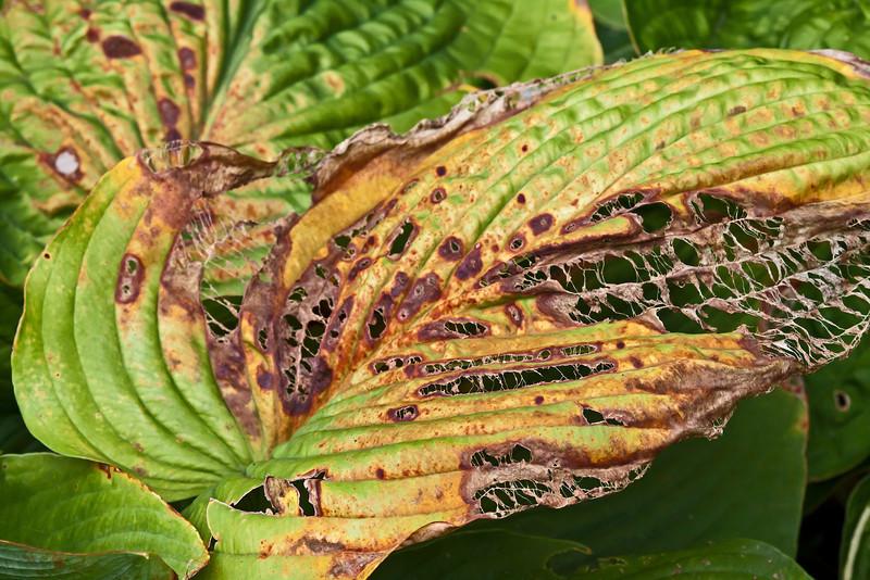 Lace work.<br /> Detail of a dying hosta leaf.<br /> <br /> Hosta Hillside, Hidden Lake Gardens,<br /> Lenawee County Michigan.