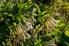 Hostas near the end of blooming season