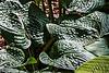 The Benedict Hosta Hillside, Hidden Lake Gardens, Michigan<br /> August 30, 2013