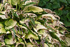 This strange pattern of leaf die-off, where the entire fabric of the leaves seems to shrivel then disappear, isn't present in all varieties of hosta.<br /> <br /> Hosta Hillside, Hidden Lake Gardens,<br /> Lenawee County Michigan.