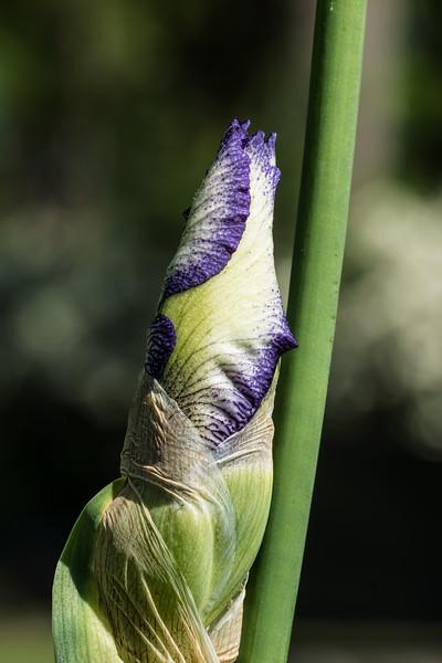 Bud of German iris