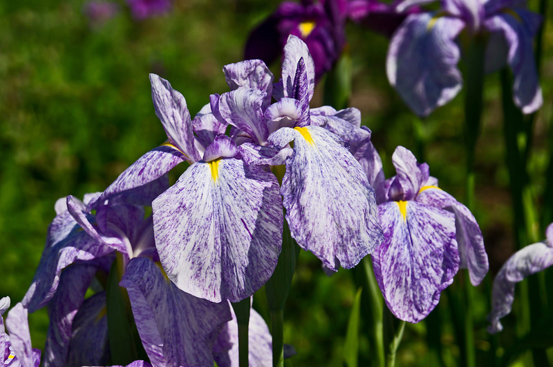 "D154-2012 Iris (07)<br /> The framed version is here:  <a href=""http://smu.gs/LGnAaf"">http://smu.gs/LGnAaf</a><br /> <br /> Toledo Botanical Garden, Ohio<br /> June 3, 2012<br /> (nex5n)"