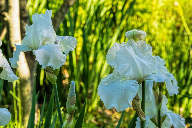 White bearded iris with a few hints of color