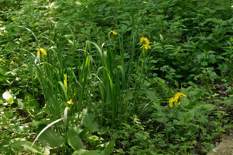 D156-2011 Yellow iris (Iris pseudacorus), an alien garden escape 01<br /> Family:  Iridaceae<br /> Nichols Arboretum,<br /> Ann Arbor, Michigan (June 5, 2011)
