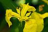 Yellow flag iris - filtered